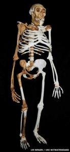 Australopithecus sediba, reconstructed from the bones of three individuals.